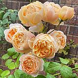 Троянда Джуд зе Обскур. (в). Англійська троянда, фото 5