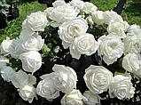 Роза Пьер Ардити. (в). Чайно-гибридная роза, фото 2