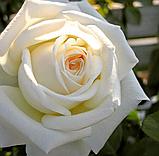 Роза Пьер Ардити. (в). Чайно-гибридная роза, фото 4