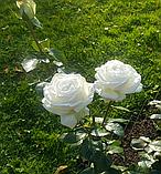 Роза Пьер Ардити. (в). Чайно-гибридная роза, фото 3