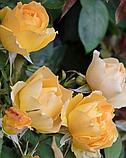 Роза Паоло Пейроне Джардиньере. (вв). Флорибунда, фото 3