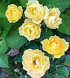 Роза Паоло Пейроне Джардиньере. (вв). Флорибунда, фото 4