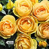 Роза Паоло Пейроне Джардиньере. (вв). Флорибунда, фото 2