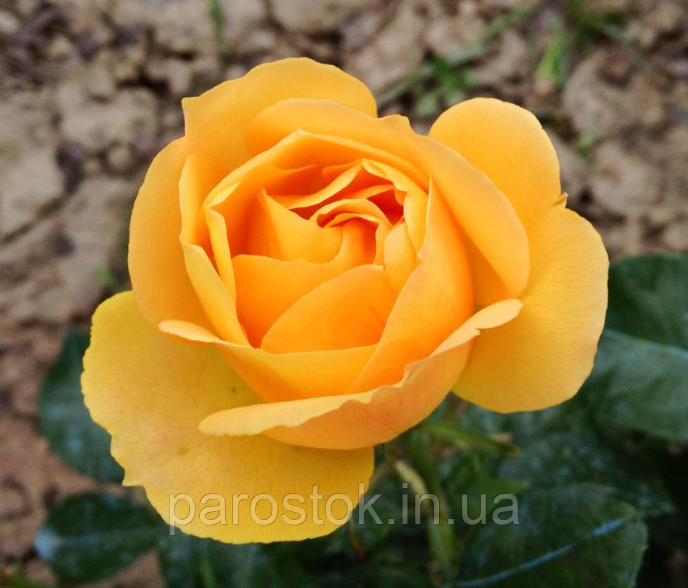 Роза Паоло Пейроне Джардиньере. (вв). Флорибунда