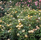 Роза Паоло Пейроне Джардиньере. (вв). Флорибунда, фото 5