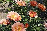 Роза Пампкин Патч. (ввв). Флорибунда, фото 3
