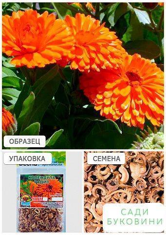 Календула 'Радіо' (Зипер) ТМ 'Весна' 2г