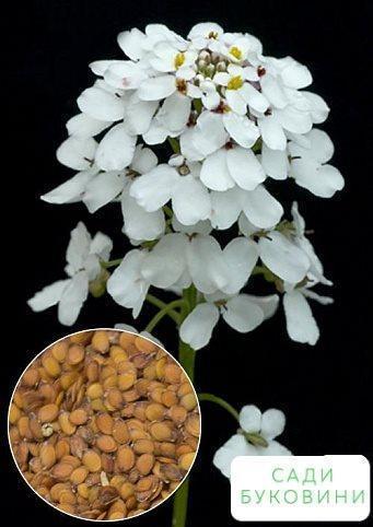 На вагу Иберис 'Гиацинтоцветковый білий' ТМ 'Весна' ціна за 2г