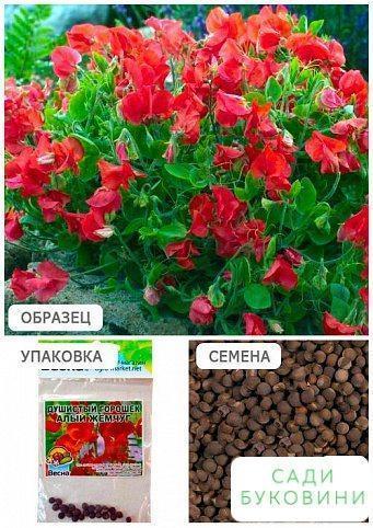 Запашний горошок 'Червоний перли' (Зипер) ТМ 'Весна' 2г