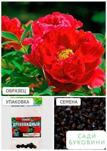 Півонія 'Деревовидний' (червоний) (Зипер) ТМ 'Весна' 7шт