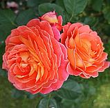 Роза Мами Дитьер. (вв). Шраб, фото 5