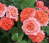 Роза Мами Дитьер. (вв). Шраб, фото 3