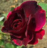 Роза Сперонелла Далесманини. (вв). Флорибунда, фото 2