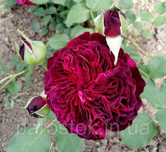 Роза Сперонелла Далесманини. (вв). Флорибунда