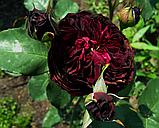 Роза Сперонелла Далесманини. (вв). Флорибунда, фото 3