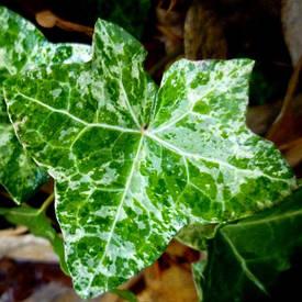 Плющ звичайний Camouflage 2 річний, Плющ обыкновенный Камуфляж, Hedera helix Camouflage