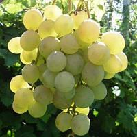 Виноград Світлосяйний
