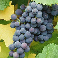Виноград Муза