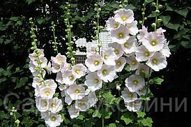Мальва Rosea белая (корневище)