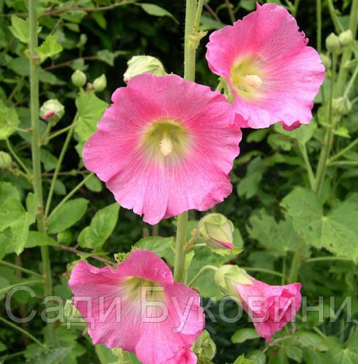 Мальва Rosea рожева (кореневище)