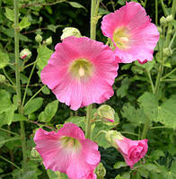 Мальва Rosea розовая (корневище)