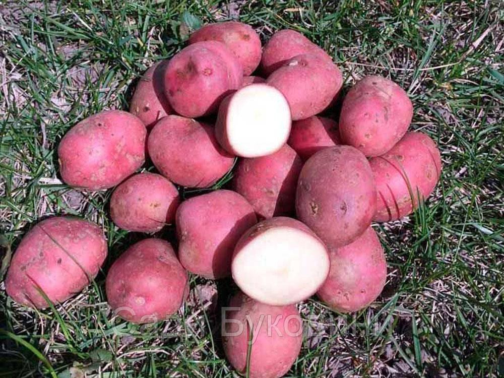 Картофель посадочный Кристина (1кг)