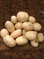 Картофель посадочный Орла (1кг)