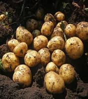 Картофель посадочный Сенсация (1кг)