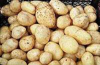 Картофель посадочный Маверик (1кг)