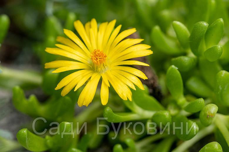 Делосперма Yellow Ice Plant