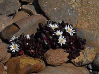 Делосперма Alpinum
