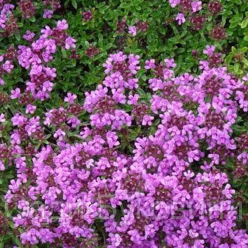 Чабрец Purple Beauty