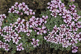 Крылотычинник круглолистный (Aethionema rotundifolium)