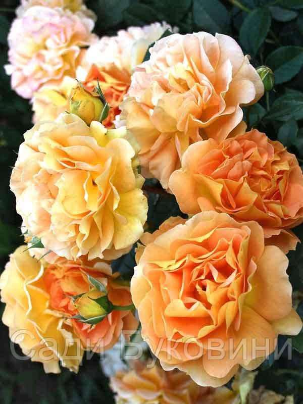 Штамбовая роза Excalibur (1 прививка)