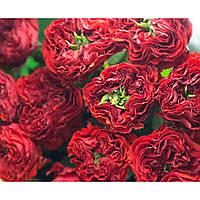 Штамбовая роза Red Eye (1 прививка)