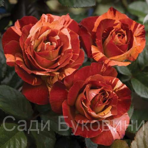 Штамбовая роза Fire Crack (1 прививка)