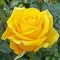 Штамбовая роза Kern (1 прививка)