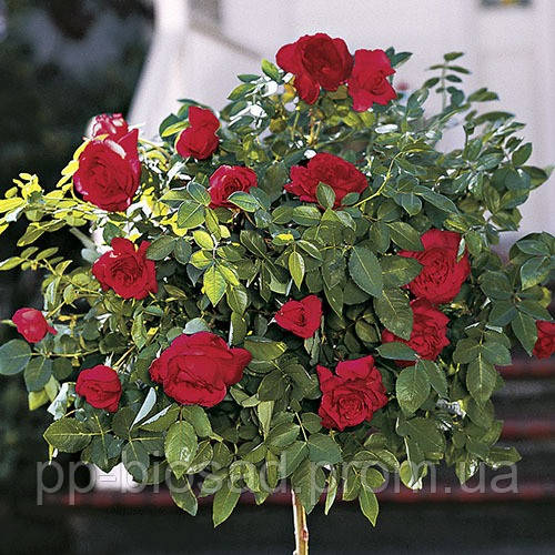 Штамбовая роза Tornado (1 прививка)