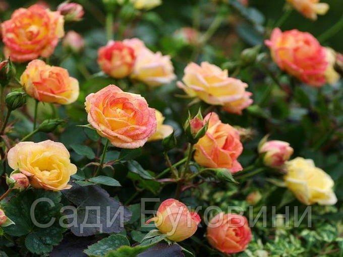 Штамбовая роза Little Sunset (1 прививка)