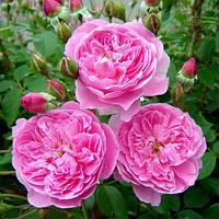 Штамбовая роза Merlin(1 прививка)