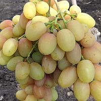Виноград Ніколь