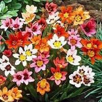 Спараксис Tricolor (3 шт.)