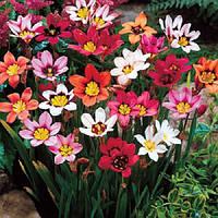 Спараксис Tricolor (5шт.)