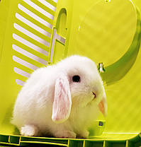 """Карликовый вислоухий кролик,порода """"Вислоухий баранчик"""",окрас """"Белый"""",возраст 1,5мес.,девочка, фото 3"""