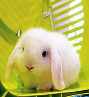 """Карликовий висловухий кролик,порода """"Висловухий баранчик"""",окрас Білий,вік 1,5 міс.,дівчинка"""