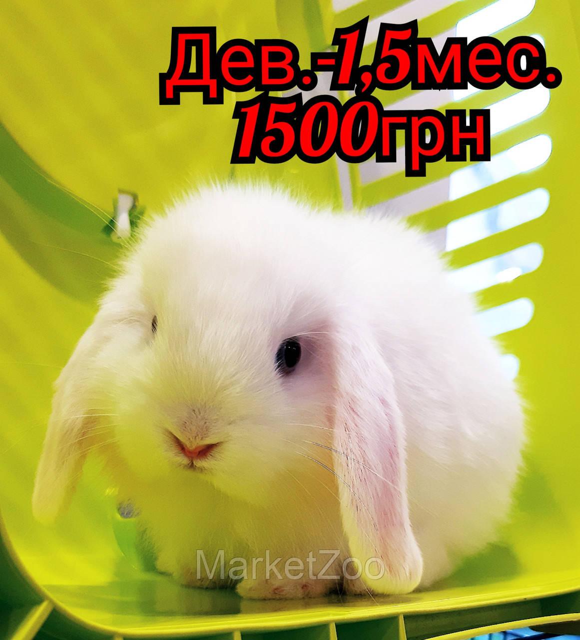 """Карликовый вислоухий кролик,порода """"Вислоухий баранчик"""",окрас """"Белый"""",возраст 1,5мес.,девочка"""
