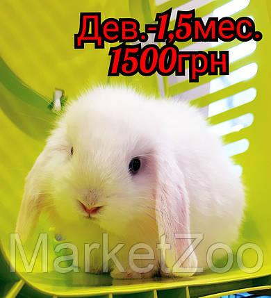 """Карликовый вислоухий кролик,порода """"Вислоухий баранчик"""",окрас """"Белый"""",возраст 1,5мес.,девочка, фото 2"""