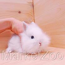 """Карликовый кролик,порода """"Львиная голова"""",окрас """"Белый"""",возраст 1,5мес.,мальчик, фото 3"""