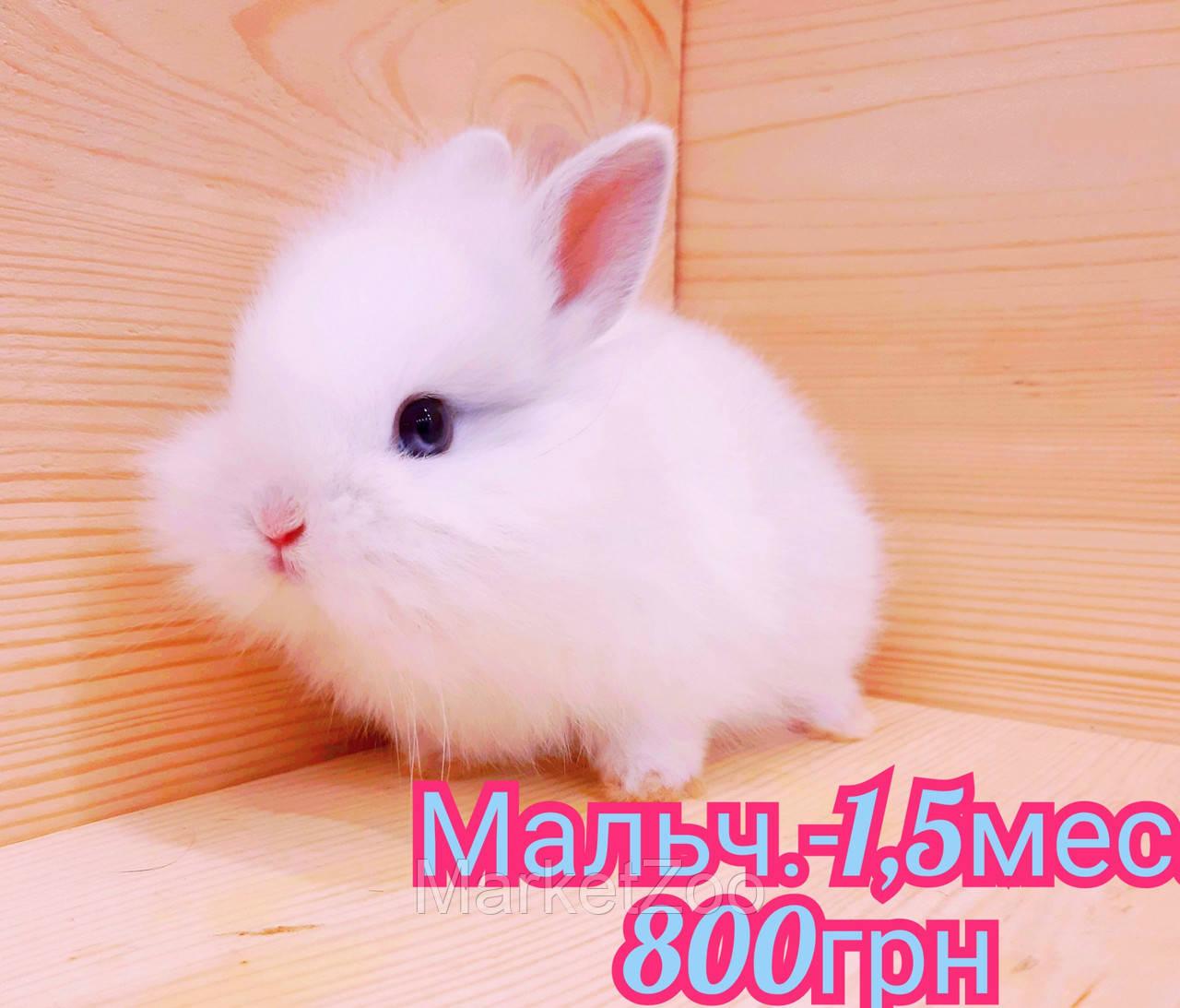 """Карликовый кролик,порода """"Львиная голова"""",окрас """"Белый"""",возраст 1,5мес.,мальчик"""