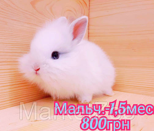 """Карликовый кролик,порода """"Львиная голова"""",окрас """"Белый"""",возраст 1,5мес.,мальчик, фото 2"""